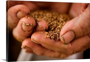 a-farmer-holds-sea-oats-seeds-in-his-hard-worked-dirty-hands,1937045